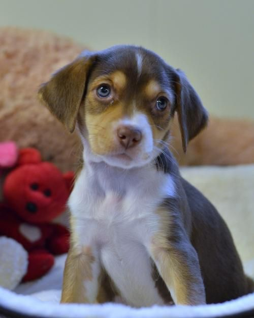 Suki is an adoptable beagle searching for a forever family near Mechanicsburg, PA. Use Petfinder to find adoptable pets in your area.