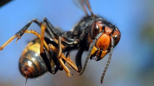 Un frelon asiatique, redoutable prédateur des abeilles.
