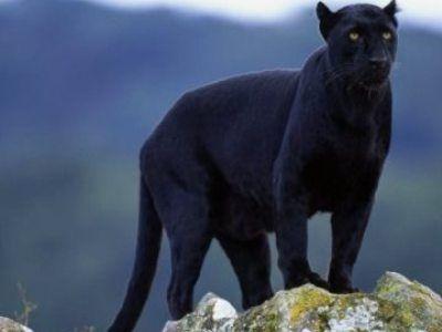 Los felinos mas grandes del mundo - 3- La pantera negra - Beliefnet