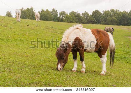 Pony in the Pasture  - stock photo