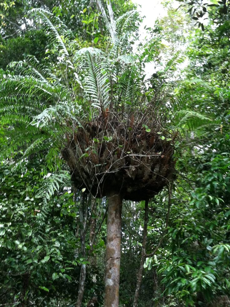 Python nest , Rainforest in Cairns Australia. These are basket ferns.  We saw a lot of these on the sky rail ride...no pythons though :(