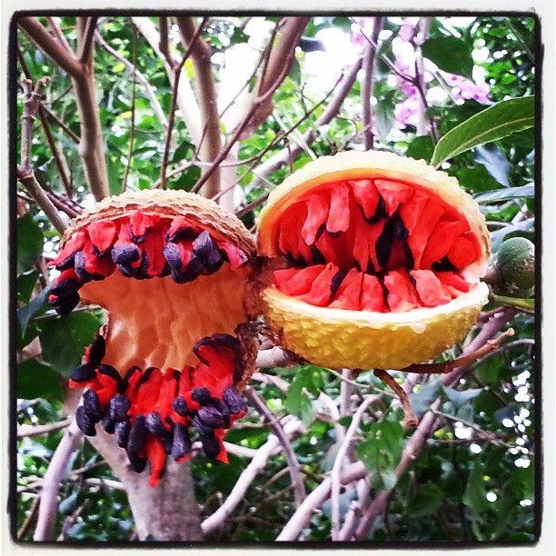 Fruto da Mata Atlântica  (Atlantic Forest fruit)