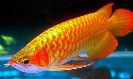 Penyakit Ikan Arwana -Ikan Arwana merupakan ikan yang berasal dari daerah subtropics dan tropis, sehingga Ikan Arwana banyak di temukan di...