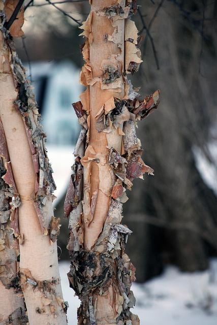 River Birch: Betula nigra 'Heritage': Zones 4 to 9.