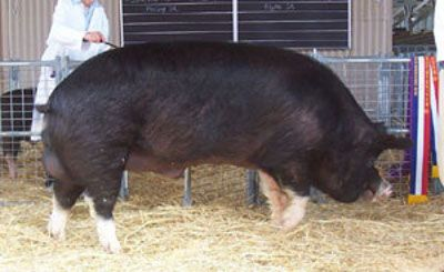 Berkshire Pig - Facts about Berkshire Pig, The Berkshire is a pig breed that…