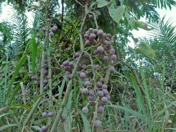 Cissus aralioides