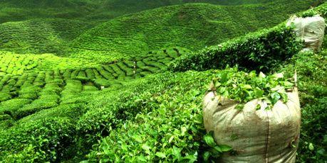 Sri Lanka - tea