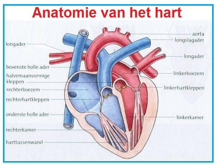 Ongebruikt Anatomie hart | Hart anatomie, Menselijk hart, Menselijk lichaam EA-42