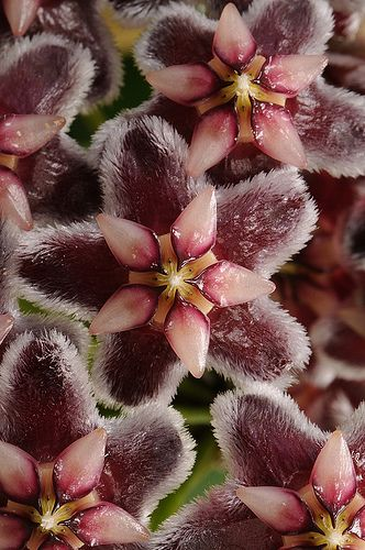 Fractal repeating patterns of 5 in nature - Hoya pubicalyx, Hoya is Rouge Bunny Rouge signature flower.
