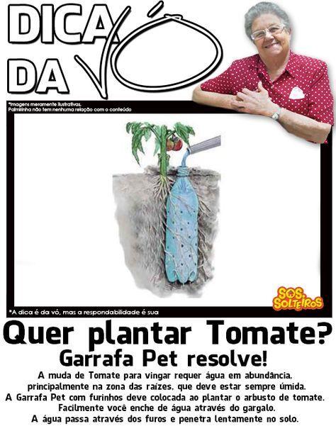 dica da vo como plantar tomate .