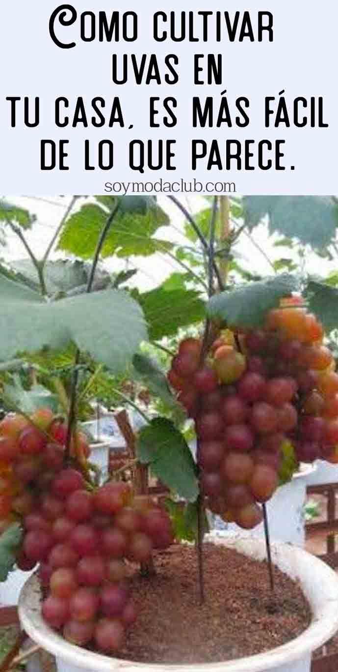 Como cultivar uvas en tu casa, es más fácil de lo que parece.