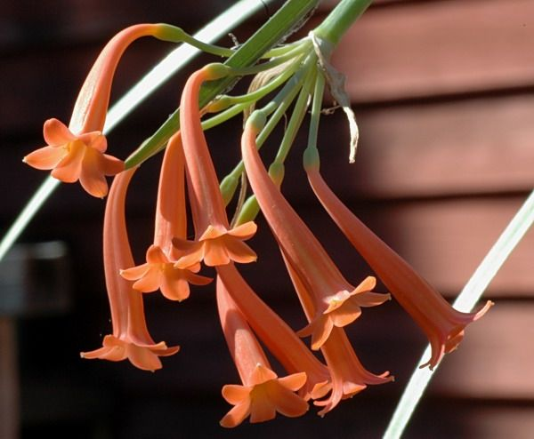 Cyrtanthus epiphyticus J.M.Wood is a very attractive species from the Eastern Cape and KwaZulu-Natal, with pendulous reddish-orange flowers in spring, September-October in the wild. Photo by Bill Dijk. The flower tube is narrow and curved and the lobes roundish with blunt recurved tips. This species is epiphytic and found on trees, boulders and in rock crevices in moist conditions.