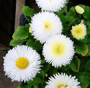 DAISY ENGLISH - 500 seeds - POMPONETTE WHITE - BELLIS PERENNIS  | eBay