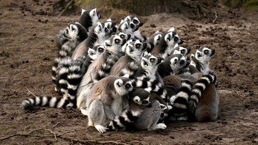 Travel tip: Destinations worth checking out in 2015: 3. Madagascar #lemurs #Africa #safari #Madagaskar