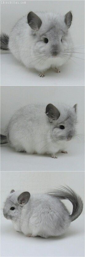I'm not a rodent fan... but I am sooo obsessed with chinchillas right now. Are they not the cutest little fluffys!