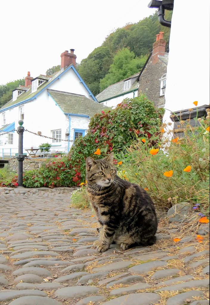 https://flic.kr/p/pokfwy | Clovelly Cat | After checking out of our hotel in Barnstaple we drove to this lovely village.  We did climb down the cobbled streets and back up again! Well worth the effort. Also the pebbly underfoot to the pretty little waterfall on the coastline.     We saw quite a few cats on our way down and back up.   Ideal place for them, in a way, as no cars!