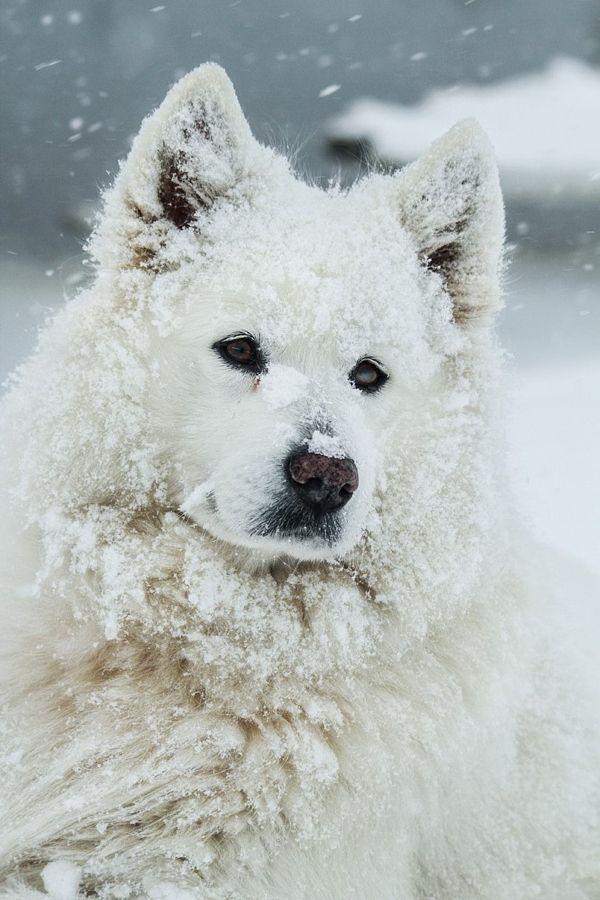 Fantastic Samoyed Chubby Adorable Dog - 888ddaf9d719e20b4f2aa463aa8baf31--samoyed-dogs-wonderland  Image_386073  .jpg