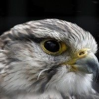 The Hawk by W. H. Davies  read by Sonia Vilim by Sonia Vilimova on SoundCloud