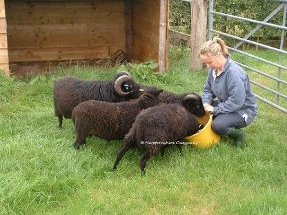 Ouessant Sheep - The worlds smalled sheep breed. CUTE! These guys are full grown!