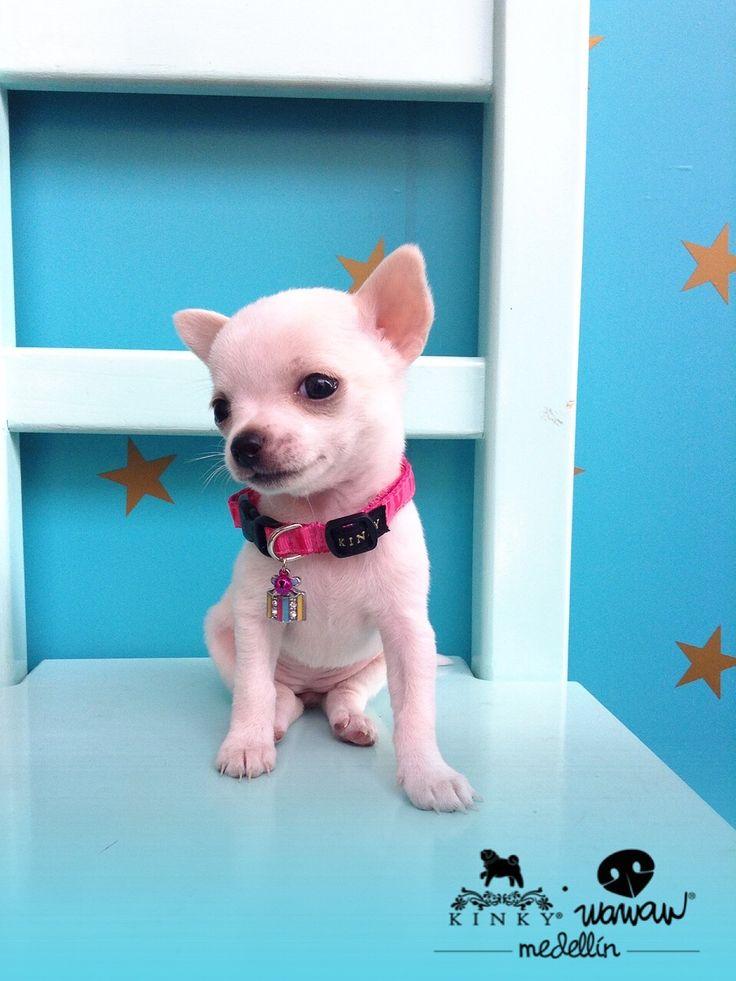 Baby stylish Chihuahua