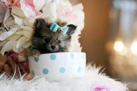 Pram the Pomeranian Puppy For Sale #dog #pet #puppy #pomeranian #forsale #sale
