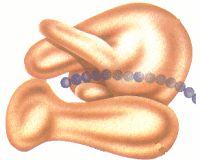 3- Responsável pela produção de proteína. Gene é um trecho de DNA que expressa um peptídeo ou proteína. Esse DNA replica e permite que as informações para síntese de proteínas sejam transferidas para as células filhas.