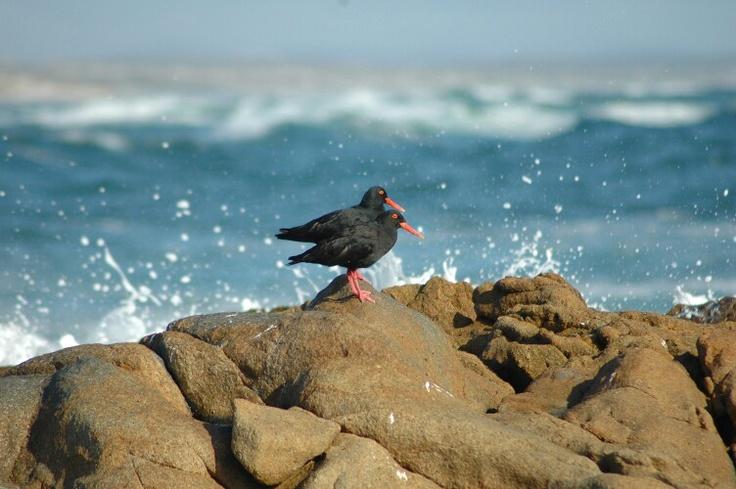 Black Oystercatchers - West Coast National Park, South Africa