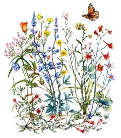 Peg Steunenberg, Natural Science Botanical Illustrations by Peg Steunenberg  another example of clustering of flowers; too cutesy though, drop butterfly, etc.