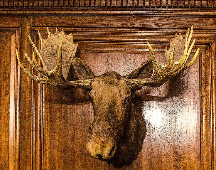 Teddy Roosevelt Moose