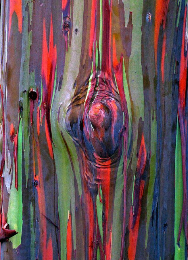 Радужный эвкалипт.  Радужный эвкалипт отличается от других видов эвкалипта своей разноцветной корой. Сначала кора имеет ярко-зелёный цвет. Затем, созревая, она приобретает синие, фиолетовые, оранжевые и тёмно-бордовые оттенки. Ствол взрослых деревьев отливает всеми цветами радуги, отчего вид и получил своё название. При этом окраска коры постоянно изменяется.
