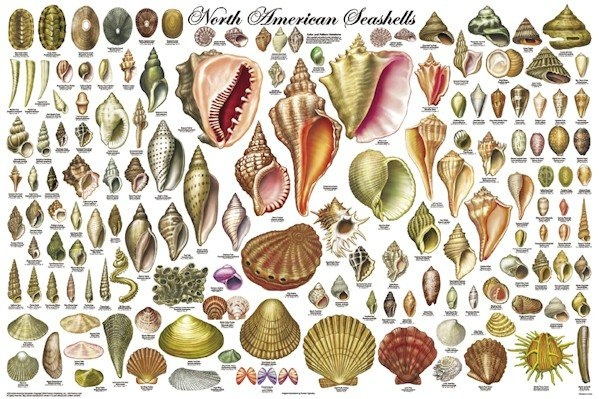Gallery For Types Of Seashells And Their Names
