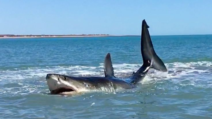 Pearson Brothers Winery films 15 ft white shark in 3 ft of water