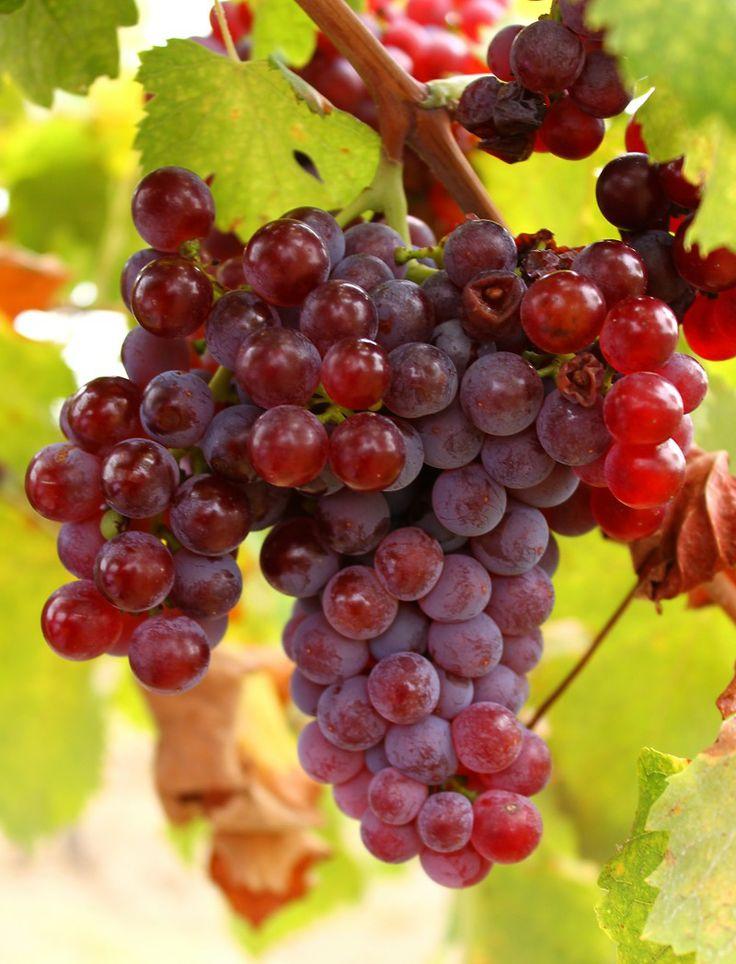 A szőlő vörös szemeinek minden darabja igazi természetes gyógykapszula a szervezetnek, bioaktív hatóanyagai miatt.