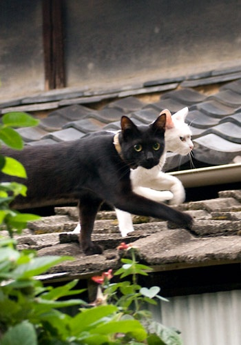 """** """"Blizzard, who be de hulk tomcat glarin' atz us on dat roof top?"""" - [""""Pays em noes mind. Me hadz 3 litters by him, but be soes over it nowz."""""""