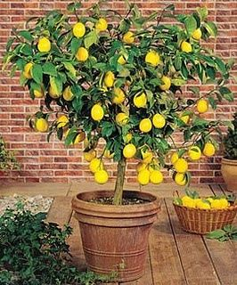 Potted meyer lemon tree.