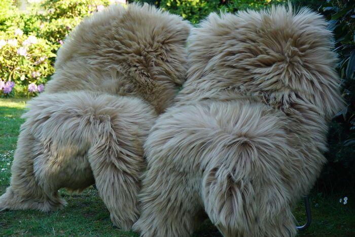 Lot met 2 mooie grote XXL - ca. 130 x 90 cm - langharig lambskins/schapenvellen in een subtiele schaduw van de beige  Hier aangeboden is een stuk met 2 prachtige langharig lambskins/schapenvellen in een subtiele schaduw van de beige.U ontvangt precies de skins die worden getoondDe huiden zijn nieuweSkins maken een comfortabele sfeer uitstraling en een goed binnenklimaat. Dankzij het ontwerp deze lamsdarm is een heel bijzondere eye-catcher en een accessoire van de levensstijl van de beste…
