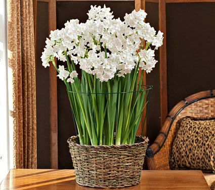 10 ziva paperwhite flower bulbs you can get additional details at the image link