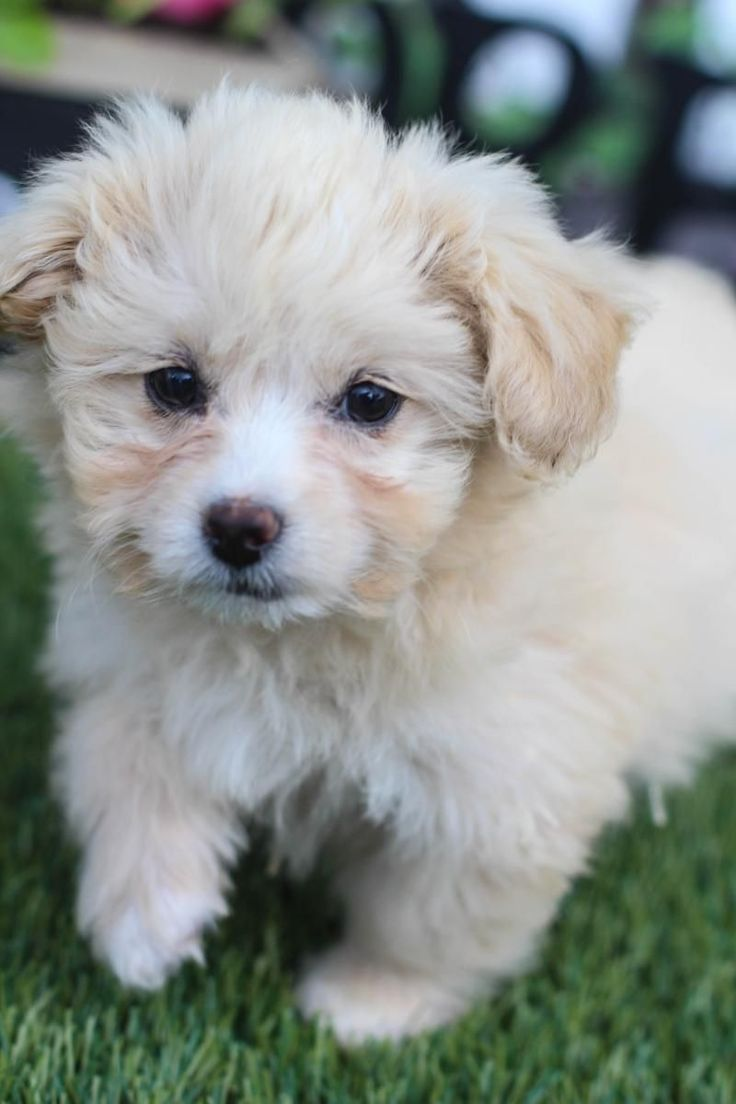 Malteser Yorkshire Terrier Yorkshireterrier Malteser Terrier
