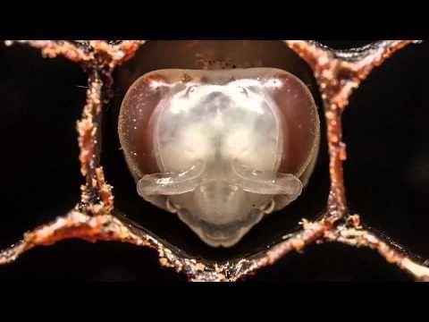 【希望のミツバチ】働きバチの誕生(1:03)