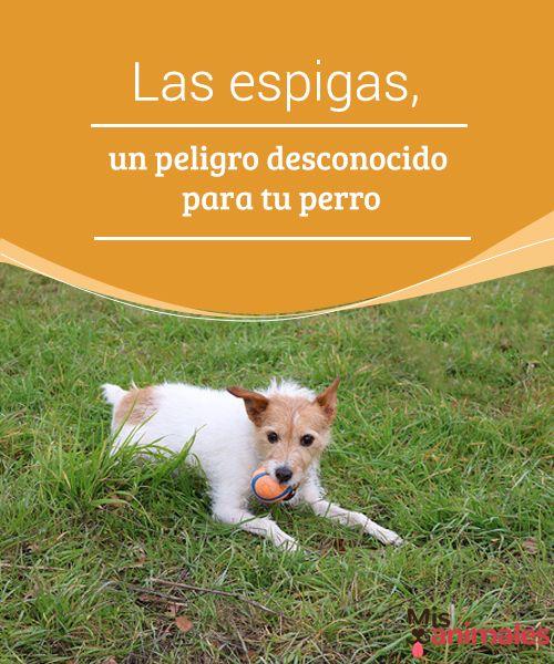 """Las espigas, un peligro desconocido para tu perro  Las espigas son una """"hierba"""" común en casi todos los lugares, sin importar si vives en el campo o en la ciudad. #espígas #perro #peligro #salud"""