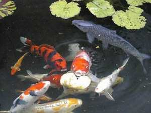 75 best images about garden ponds on pinterest for Japanese koi names