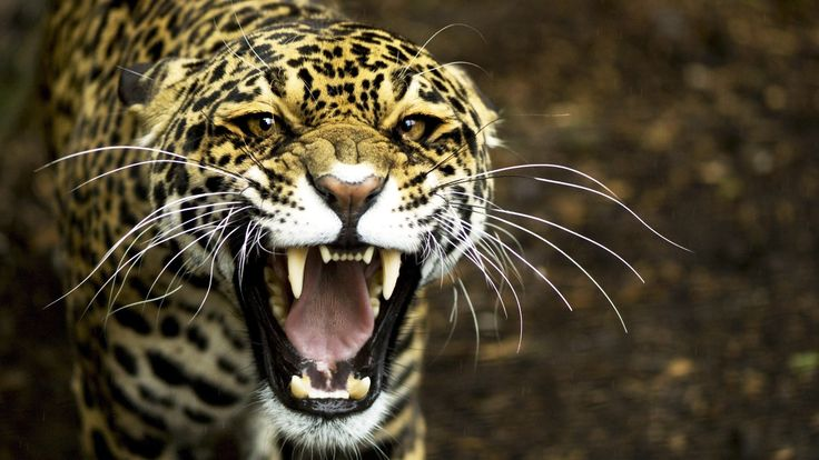 8k Animal Wallpaper Download: Close Up Cheetah Photo HD Wallpaper