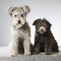 #dogalize Razas de Perro: Perro Pumi caracteristicas y cuidados #dogs #cats #pets