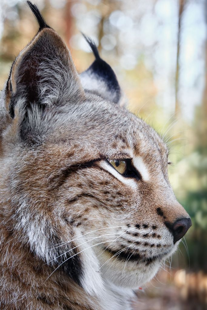 A Totally Great Lynx Profile.                                                                                                                                                                                 More