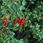 holly-shrub - use as a foundation plant -  Beautiful year round. Needs trimming to keep its shape.