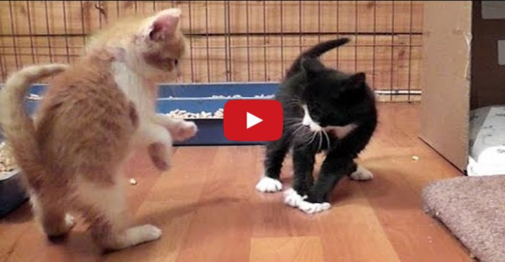 Cuteness Overload With a Group of Foster Kittens Play Fighting