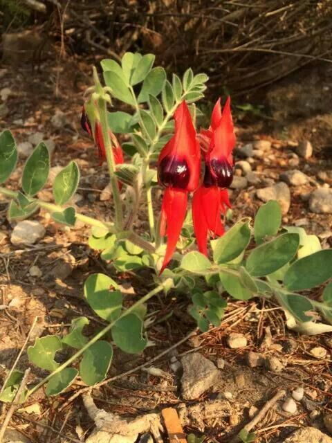 Sturt Desert Pea. Used as a bush flower essence for deep hurts snd sorrows.  Letting go and releasing deep held grief and sadness are associated with this magnificent flower.