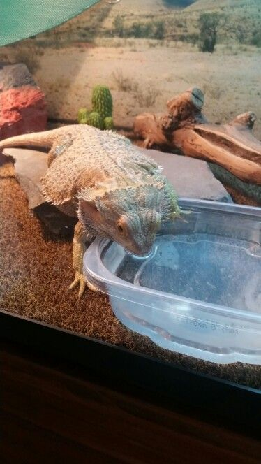 183 Best Images About Bearded Dragon On Pinterest