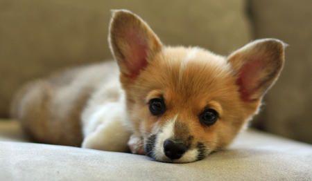 Pembroke Welsh Corgi: Corgis, Animals, Dogs, Welsh Corgi Puppies, Puppys, Pembroke Welsh Corgi, Corgi S