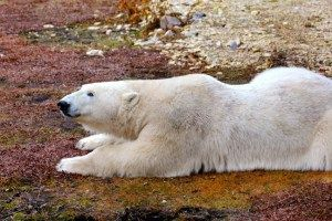 POLAR BEARS Photo Gallery- A selection of our favorite Polar Bear Pics from our trip to Churchill, Manitoba with Natural Habitat Adventures.